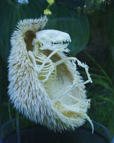 Bone-chilling pics show Mother Nature at her most sinister This hedgehog is long-dead, but its spooky skeleton is well preserved, inside the remains of its protective spiky coat Animal Skeletons, Animal Skulls, Planta Vascular, Nature Design, Nature Nature, A Hedgehog, Animal Bones, Animal 2, Skull And Bones