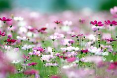 Cosmos by floridapfe, via Flickr