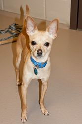 "Stiltz - 4.5 year old male Chihuahua in Appleton, WI. ""Hi, I'm Stiltz! I'm a bit cautious, but with a few sniffs of your hand I'll let you pet me gently! Once I feel safe, you won't be able to get rid of me! I'm a very happy boy and a small bundle of energy! I give a cute little play bow when I'm ready for you to throw me some toys! I'm a very happy boy and can't wait to snuggle in your lap in my loving forever home!"" Adoption fee: $260"
