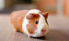 Is a Guinea Pig a Good Pet For You? (Quiz)