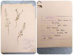Vintage 1956 French herbarium Ibenis Amara