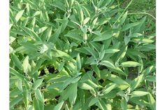 Growing Herbs In Pots, Salvia Officinalis, Homestead, Home, Health, Sage