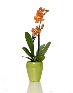 bright colored miniature orchid
