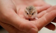 Funny pictures about A Tiny Baby Hamster. Oh, and cool pics about A Tiny Baby Hamster. Also, A Tiny Baby Hamster photos. Baby Owls, Cute Baby Animals, Animals And Pets, Funny Animals, Animal Babies, Owl Babies, Wild Animals, Cute Baby Owl, Newborn Animals