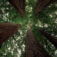 Coastal Redwoods, Big Basin Redwoods State Park, Near Santa Cruz, California Tree Photography Wallpaper, Photo Wallpaper, Santa Cruz California, California Usa, Big Basin Redwoods, Desktop, Science Nature, Beautiful Images, State Parks