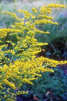 When roadside fields turn into golden gardens, autumn arrives. Got some anise scented goldenrod here.