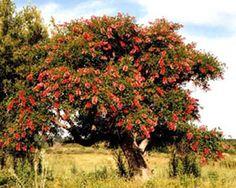 Ceibo o Seibo, árbol y flor nacional de Argentina