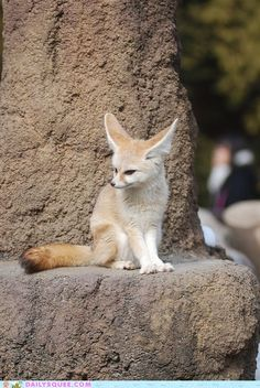 FENNEC!  I'm sure you've all figured out by now how much I adore Fennec foxes.