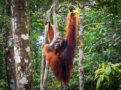 This is the Bornean orangutan! Endemic to Borneo's rainforests. The largest tree-dwelling mammal. They consume 400-500 plant types—60% are fruits. The gardeners of the forest, they disperse seeds as they travel. Threatened by habitat loss, their forests are burnt for palm oil plantations and other industries. Illegally hunted for bushmeat, they are killed to mitigate territorial conflicts with human interests; populations are rapidly decreasing. Critically Endangered. Read their story!