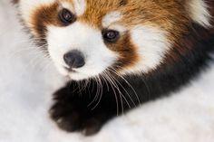 beautiful-wildlife: Young Red Panda by David Benard