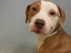 09/18/2016 SUPER URGENT Manhattan Center NYC ADOPT COPERNICUS – A1090201  MALE, BROWN / WHITE, PIT BULL MIX, 7 years old, urgently needs an assessment requested by an interested person to determine health and temperament before adoption can take place. Due Out Date 09/20/2016.