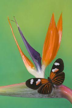 ~~Heliconius melpomene the Postman Butterfly by Danita Delimont~~