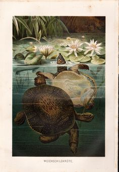 Soft Shell Turtle Antique Print, 1892