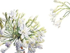Rosie Sanders White Agapanthus Watercolour on Arches 640gsm paper 30.5 x 40.25ins (77.5 x 102.5cm)