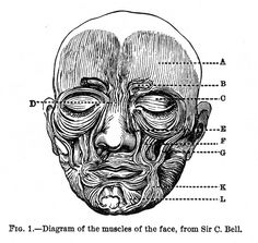 Diagram of the Muscles of the Face Expression of the Emotions Figure 1 - The Expression of the Emotions in Man and Animals by Charles Darwin - Wikimedia Commons