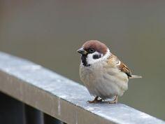 Eurasian tree sparrow Kinds Of Birds, All Birds, Cute Birds, Pretty Birds, Little Birds, World Birds, Beautiful Birds, Animals Beautiful, Sparrow Bird