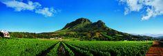 Cape Winelands / Western Cape: Dramatische Bergzüge und fruchtbare Täler. Von Kapstadt sind die Cape Winelands mit Somerset West, Stellenbosch, Paarl, Franschhoek, Riebeek Valley und Tulbagh, von der Oliphants Region über West Coast bis zur Overberg Region entlang der Küste bis ins Breede River Valley zu erreichen. #suedafrika, #wein, #winelands, #suedafrika, #kapstadt, #genuss