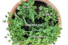 thai cuisine herb combination, chilli, lemongrass, thai basil, coriander,