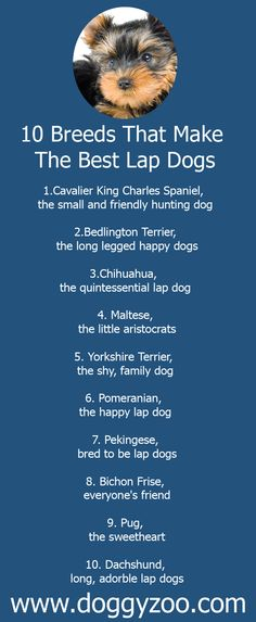10 Breeds That Make The Best Lap Dogs