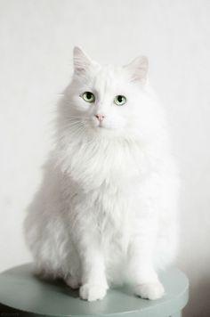 pretty white kitty. www.kittyloversclub.com