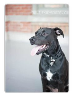 My sweet Belle- 2 year old Lab/Pitbull Mix Pitbull Lab Mix, Lab Pit Mix, Dog Crossbreeds, Dog Care, Horse Care, Animal Tracks, Dog Mixes, Cute Funny Dogs, Best Dog Breeds
