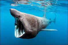 requin du groenland ****
