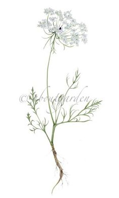 botanic watercolor wild carrot