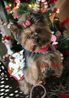 Ready when you are  Christmas Yorkie by Carmen Aguilar