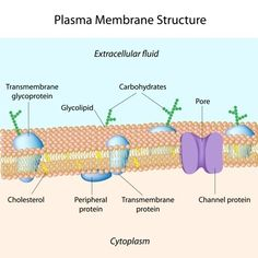 How to Make a 3D Cell Membrane Model | Cell membrane