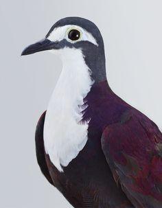 New Guinea Ground Dove