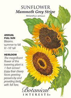 Psyche White Cosmos Seeds - 500 mg - Botanical Interests Mammoth Sunflower, Giant Sunflower, Sunflower Garden, Sunflower Seeds, Sunflower Types, Sunflower Quotes, Types Of Sunflowers, Growing Sunflowers, Planting Bulbs