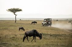 wildebeest on open field The marvelous Masai Mara. Some of the icons of the Masai Mara: a four wheel drive tourist vehicle, wildebeest, and a classic Balanites aegyptica tree. Tanzania, Kenya, Elephant Sanctuary, Arusha, African Safari, Ielts, Africa Travel, Day Tours, Travel Pictures