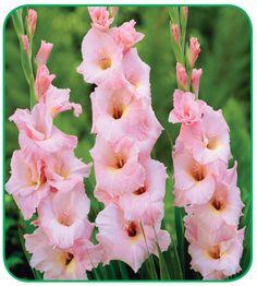 Gladiolus 'Happy Weekend'