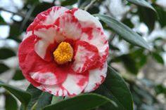Camellia japonica Adolphe Auduson Variegated