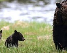 Please sign and share this petition in an effort to take further steps that will save the grizzly bear... (47949 signatures on petition)