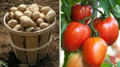 Potatoes + Tomatoes https://www.rodalesorganiclife.com/garden/14-plants-you-should-never-grow-side-by-side/slide/2