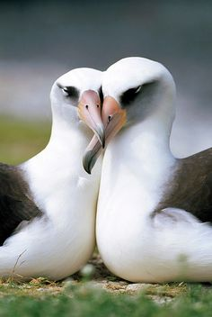 Laysan Albatross | Laysan Albatross Phoebastria Poster By Tui De Roy