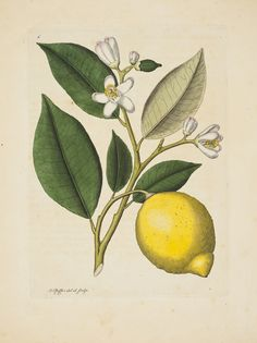 Large_pfeiffer_citron