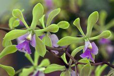Encyclia cordigera x Encyclia densiflorum