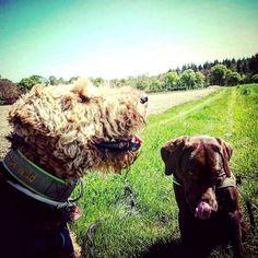 Sunshine and two lovely dogs. What else do you need? #dog #dog #dog #dog #dogsarebetterthanpeople #dogsareagirlsbestfriend #dogloversofinstagram #dogpark #dogphotography #dogsoninstagram #dogsonadventures #fujifilmx30 #dogslovers #labradors_ #labradorable #labradorlove #labradorlife #labradorretriver #labradorchocolate #labradorofinstagram #airedale #airedales #airedaleterrier #airedalesofinstagram #terriers #terrierlove #terriersofinstagram #ernie #berti #ernieandberti