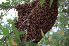 catch your own bees, how to harvest honey from a Top Bar Hive, & other useful information
