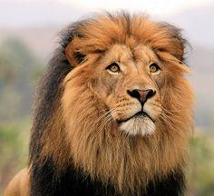 Lion King Izu