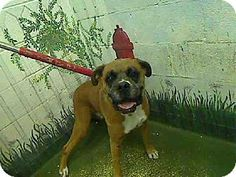 Act quickly to adopt TIM. Pets at this Shelter may be held for only a short time.Atlanta, GA - Boxer. Meet TIM a Dog for Adoption.