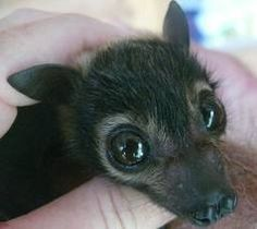 Baby bat - the bumps on his nose are his adult teeth.
