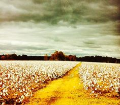 Southern cotton fields in the Mississippi Delta