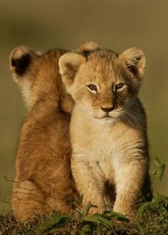 Lion Cub Siblings. Can't Resist :)