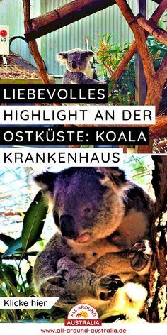 Über den Link gelangst du zu einem tollen Highlight an der Ostküste von Australien, nämlich dem Koala Krankenhaus in Port Macquarie #koala #australien Brisbane, Sydney, Highlights, Port Macquarie, Roadtrip, Australia, Link, Blog, Australia Tourist Attractions