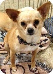 Mesa, AZ - Chihuahua Mix. Meet Leon, a dog for adoption. http://www.adoptapet.com/pet/5997005-mesa-arizona-chihuahua-mix