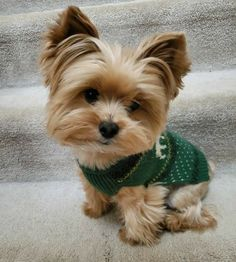 Cute Baby Dogs, Cute Baby Animals, Cute Puppies, Dogs And Puppies, Yorkies, Yorkie Puppy, Yorky Terrier, Yorshire Terrier, Yorkshire Dog