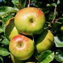 Przepis na domowy cydr - jabłecznik